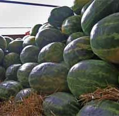 Winter's warmer temperatures a boost for some Georgia watermelon farmers