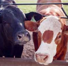 UF/IFAS program helps small cow-calf producers get ahead