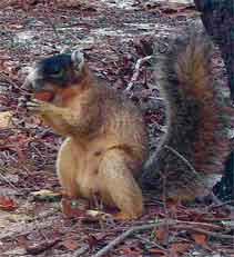 Shown here is a fox squirrel. Newly published UF/IFAS research shows that, despite some biases, lay people can be just as effective as trained professionals in collecting scientific data about fox squirrels and endangered species, helping ecologists conserve such species. Credit: Courtesy, Robert McCleery, UF/IFAS