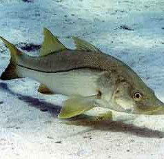 Atlantic snook to close in state and federal waters