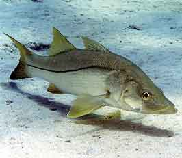 Atlantic snook