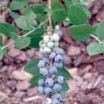 Blueberries' health benefits better than many perceive
