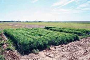 Finger millet uses less water than corn and sorghum and could be a good source of cattle feed.