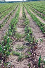 Forage sorghum a viable option for Georgia cattlemen