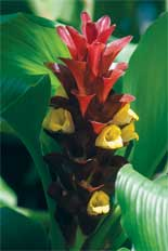 Curcuma gingers are the crown jewels of the plant world