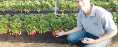 UF/IFAS research findings could eventually save $30 million annually for strawberry growers