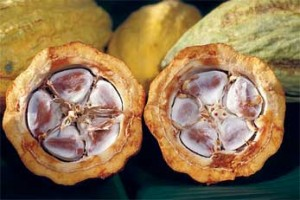 Cross section of cocoa beans in a cacao pod.