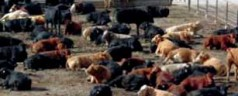 North American Cattle Markets Starting to Calm Down
