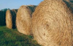 Hay producers at mercy of weather as fall armyworms reduced hay supply