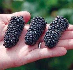 Two New Berries for You from ARS