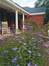Mistflowers (foreground) and knockout roses create a cottage garden look in this landscape. Image credit: Norman Winter.