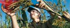 Feeding the world: UGA geneticist enhancing sorghum's drought resiliency