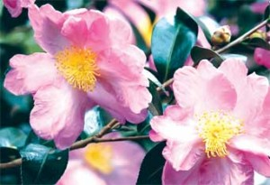 'Pink Butterfly' camellia blossoms are 4 to 5 inches wide.