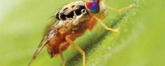 Fruit Fly's Genetic Code Revealed
