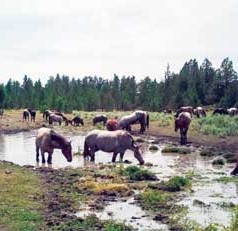 Wild horse overpopulation is causing environmental damage