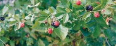 Plant berries now to create your own backyard blackberry patch