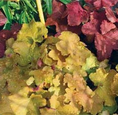 Heuchera are native to the U.S. and an award-winning perennial plant