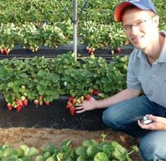 UF/IFAS scientists: Commercially grown strawberries are not genetically engineered