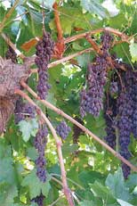 New, Easy-to-Harvest Raisin Grape Reduces Production Cost