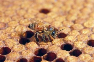 Adult honey bee with a Varroa mite on its back. Photo by Stephen Ausmus.