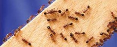 New Test Quickly Detects Red Imported Fire Ants