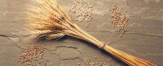 New Test Genetically IDs Fungal Wheat Threat