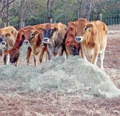 Farmers may see little effect as FDA implements ban on antibiotics in non-therapeutic animal feed