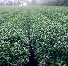 UGA ornamental plant breeder aims to bring a new brew to the U.S. – locally grown tea