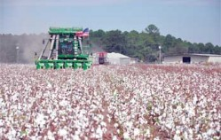 Increase in exports main reason cotton prices are up