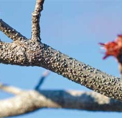 'Gloom' and doom when these insects are on hot, dry red maple trees