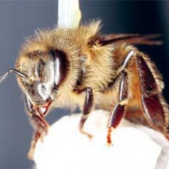 Common pesticide damages honey bees' ability to fly