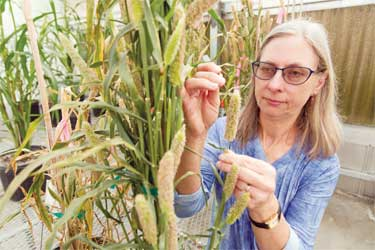 University of Georgia scientist Peggy Ozias-Akins, a College of Agricultural and Environmental Sciences professor of horticulture on the UGA Tifton Campus, applies advanced biotechnology and molecular biology tools — tools she developed herself in some cases — to improve crops like peanuts.