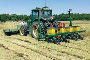 A tractor rolls a rye cover crop and plants cotton seeds at the same time. Photo by Ted Kornecki.