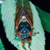 Periodical cicadas set to emerge this year after 17 years underground