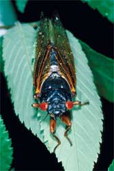 Periodical cicadas have striking red, wide-set eyes. In spring 2017, Brood VI cicadas are set to emerge in north Georgia mountains.