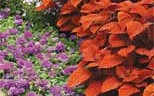 'Inferno' coleus has stunning orange foliage of perfection