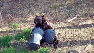 Black bears can easily tear apart unsecured garbage cans. Credit: myfwc.com/bear