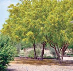 The paloverde is a drought-tolerant tree with distinctive green bark that's covered with spines