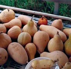 UGA researcher identifies healthiest winter squash varieties