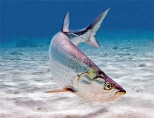 under_water_tarpon