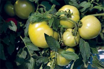 UF/IFAS researchers have found a combination of fumigants can surgically strike out some weeds that otherwise impede the growth of crops, including tomatoes, bell peppers and strawberries. A weed known as nutsedge reduces pepper yield by about 70 percent, and it can cut tomatoes by 50 percent, according to previous UF/IFAS research. Credit: UF/IFAS