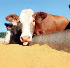 Waste not, want not: Byproduct of ethanol industry makes suitable cattle feed supplement