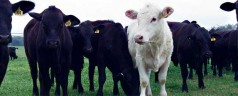 """UF scientists work to develop heat-resistant """"cow of the future"""""""