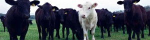 Cattle-genomics-for-blogs-0