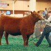 Livestock shows, 4-H competitions breed strength and tenacity in youth
