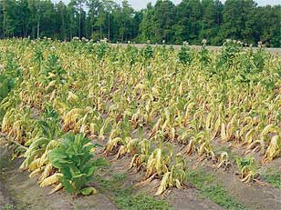 Black shank disease badly affected this tobacco field in Coffee County, Georgia