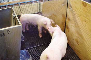 ARS scientists found pigs preferred to be in pens with mirrors, rubber mats and where they could see other pigs.