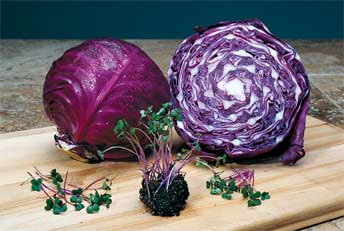 Eating mature red cabbage plants or red cabbage microgreens helped laboratory mice moderate their weight and blood cholesterol levels despite being on a high-fat diet.