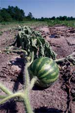 Fusarium wilt is a fungal disease that can considerably damage a watermelon crop. University of Georgia scientists are studying whether fusarium wilt can be managed through fumigation
