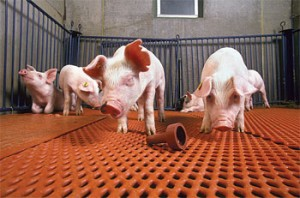 Keeping pigs healthy and free from Salmonella is the goal of a new vaccine developed by ARS scientists. (Keith Weller)